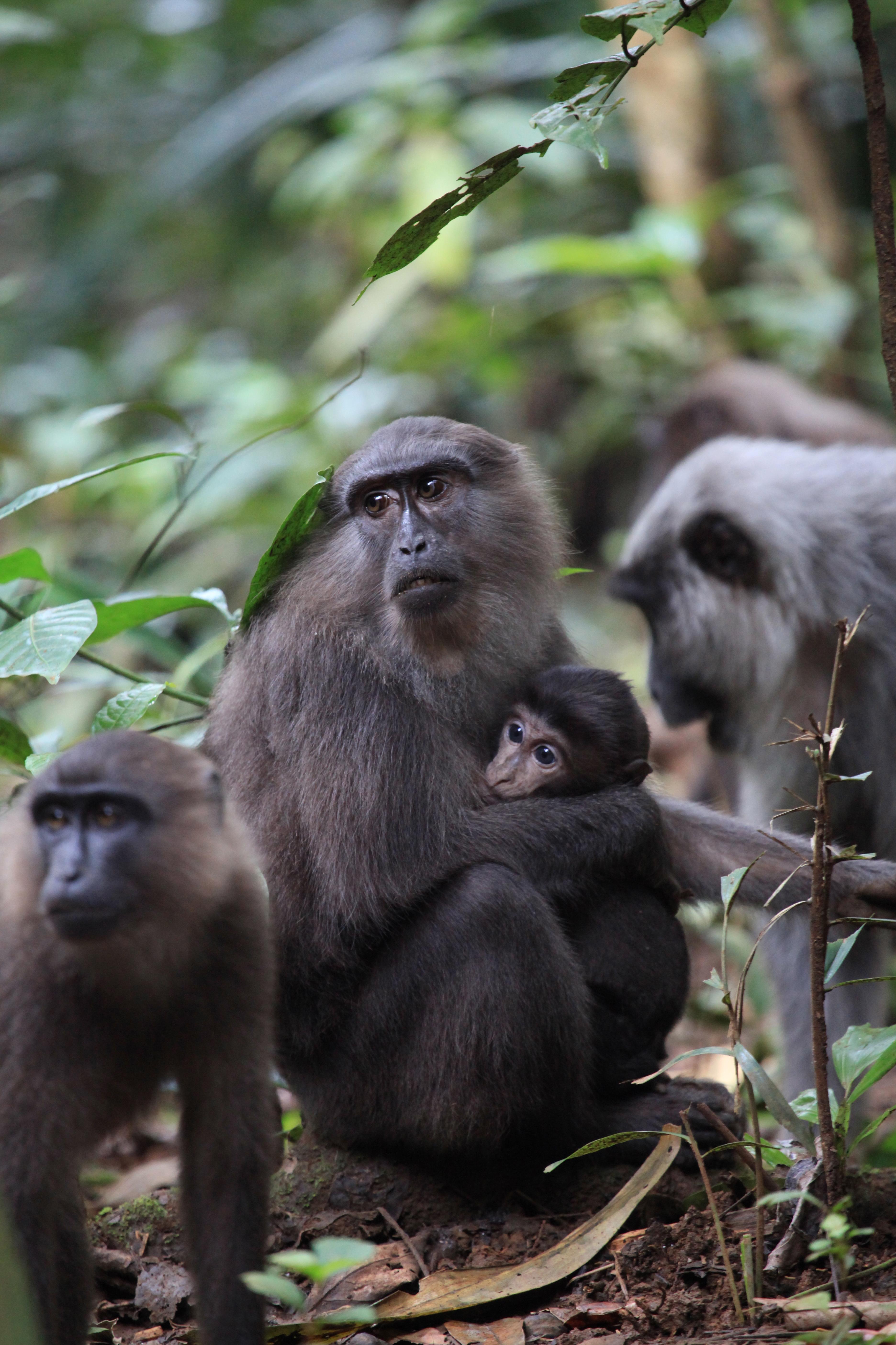 Moor macaques. Photo: Iskandar Kamaruddin.